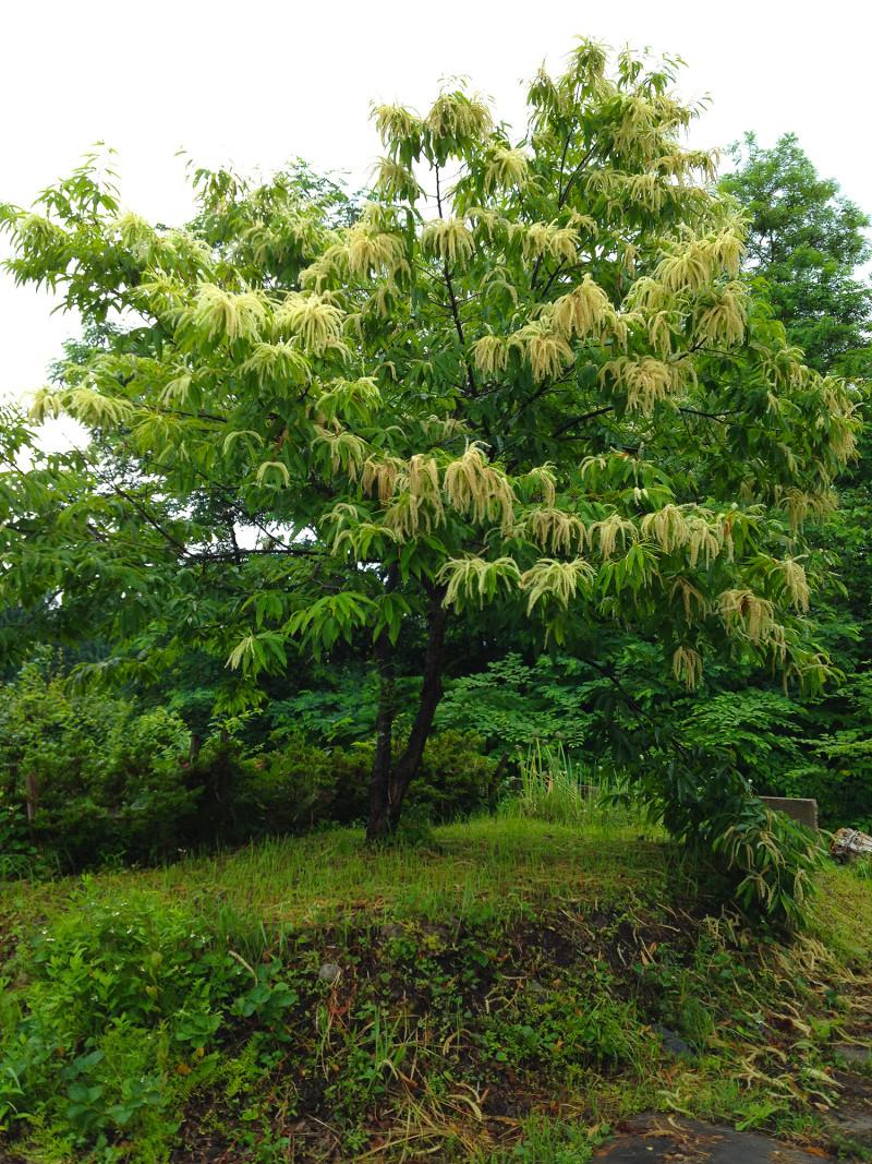 我が家の栗の木